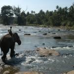 Sri Lanka olifant