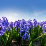 hyacintenvelden fotografie