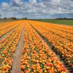 tulpenvelden fotografie